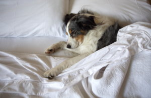 Hotel Chains With Pet Programs:  When Pampering Goes to the Dogs