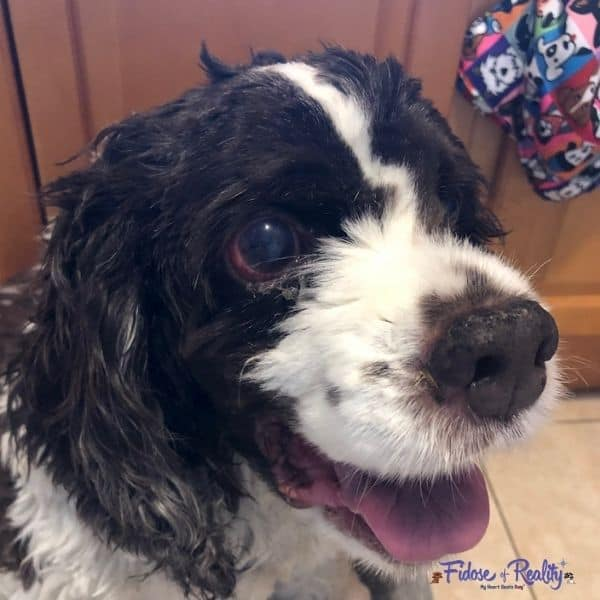 cocker spaniel with glaucoma