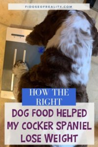 How I Helped My Cocker Spaniel Lose Weight